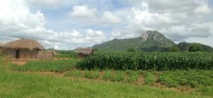 malawi maize feilds IFPRI Aberman 2014