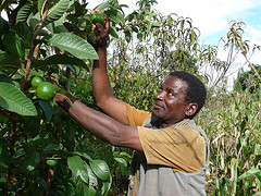 Nelson Mkwaila introduced fertilizer trees in his maize and fruits fields