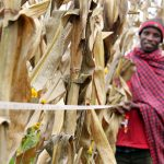 New study looks at early effects of Africa RISING Program in Malawi