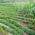 Why is adoption of conservation agriculture still a hard sell in Malawi?