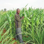 Malawi's new reality: Fall Armyworm is here to stay – Part 2